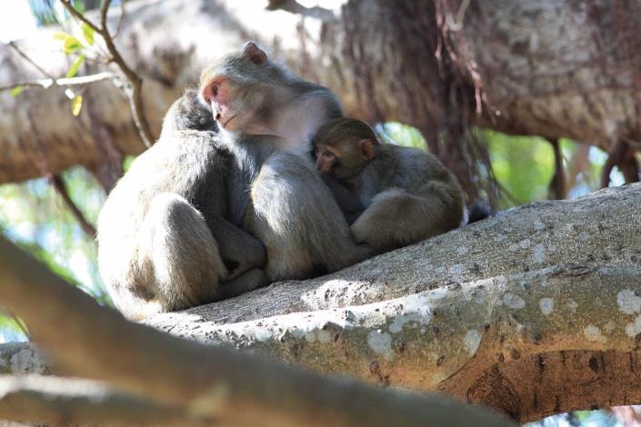 春節陪獼猴共享天倫,請記得不餵食、不接觸及不打擾.jpg