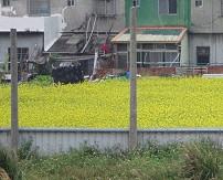 休耕或間作期種植綠肥(油菜花)