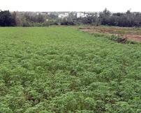 休耕或間作期種植綠肥(田菁)