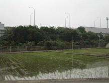 稻作插秧期