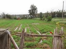 稻作結穗、收割期