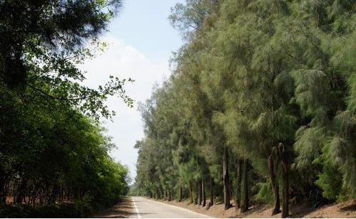 木麻黃樹林