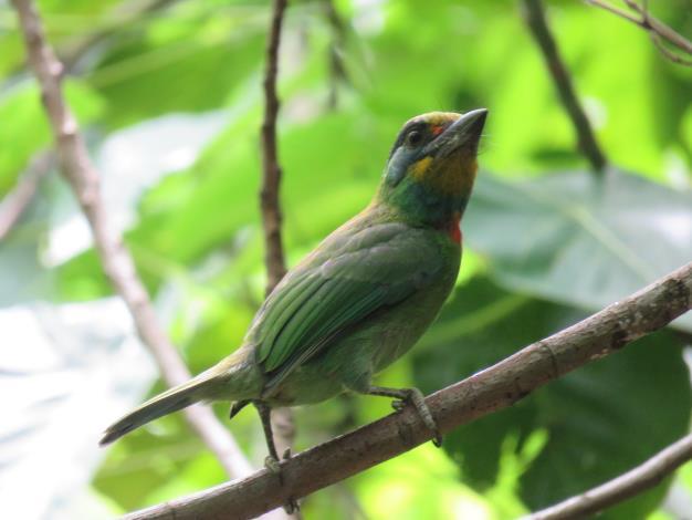 五色鳥是臺灣特有種鳥類