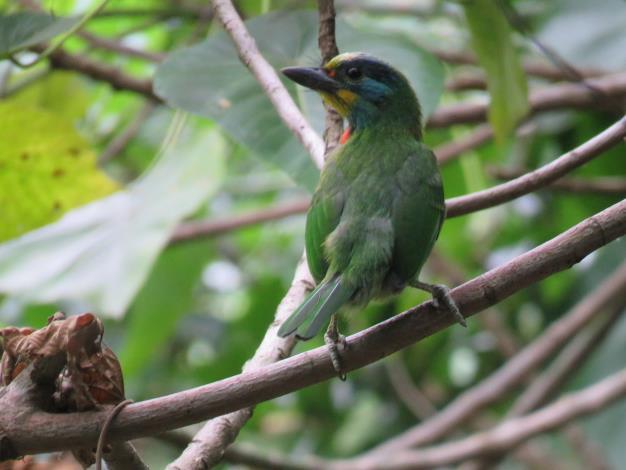 五色鳥顏色鮮豔保護色極好