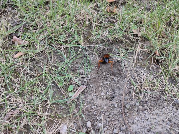 紅脚細腰蜂雌蟲忙碌的掘洞