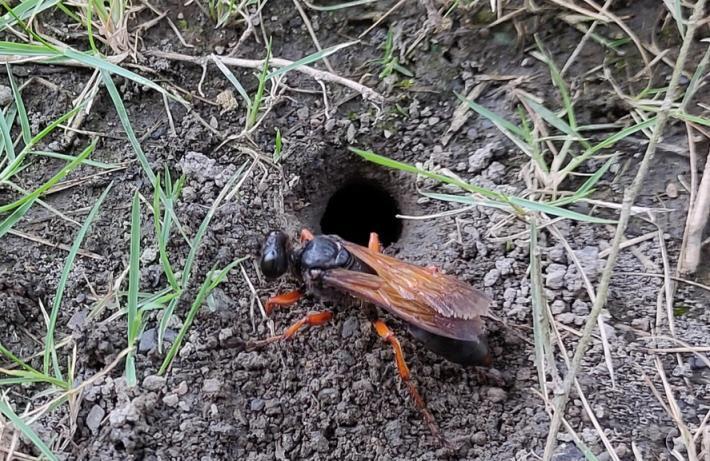 紅脚細腰蜂雌蟲大顎發達擅於掘洞