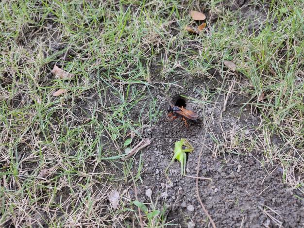紅脚細腰蜂雌蟲將螽蟴幼蟲麻醉後待拖入巢穴