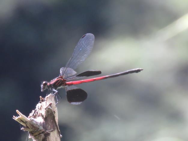 短腹幽蟌雄蟲-前翅透明,後翅基部及端部透明,中央大面積區段黑褐色具金屬光澤。.JPG