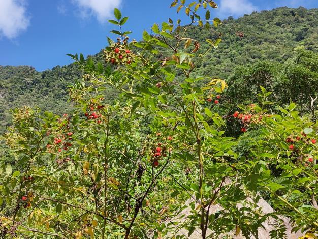榿葉懸鉤子-果實為山區野生動物及鳥類之重要食物