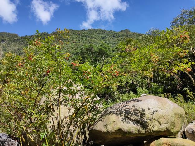 榿葉懸鉤子-灌木