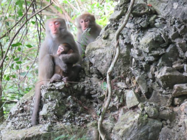 臺灣獼猴親子(太管處資料照片)