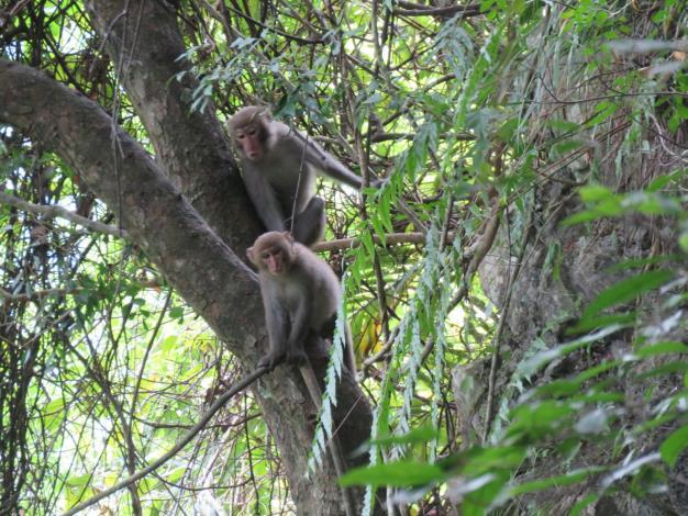臺灣獼猴(太管處資料照片)