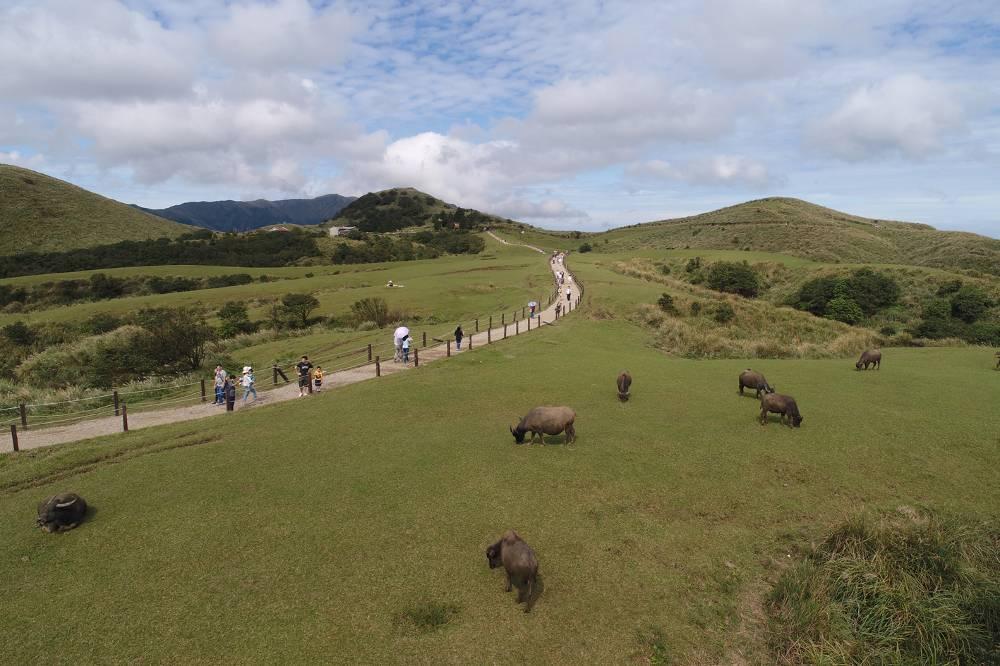 草原觀賞牛隻作息,已成為擎天崗重要景觀