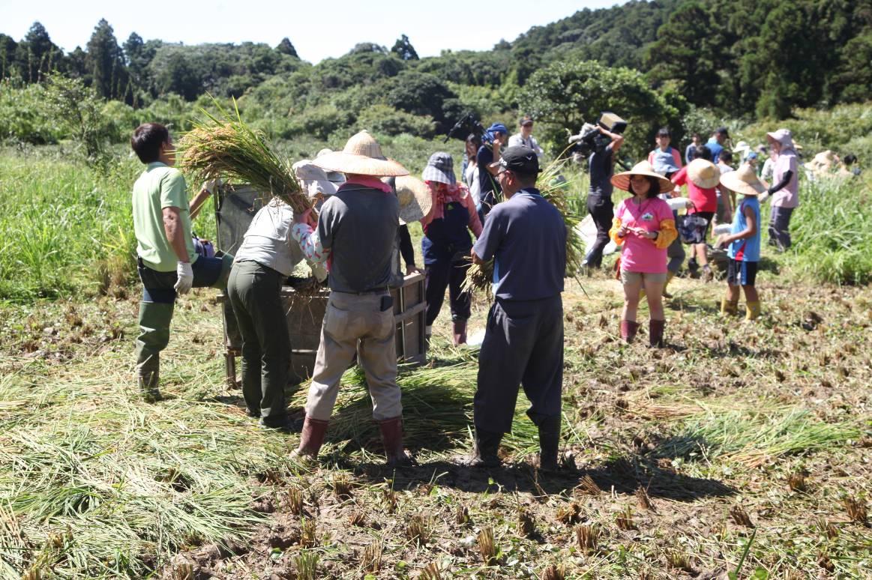 竹子湖蓬萊米復耕田收割季凝聚在地人的向心力