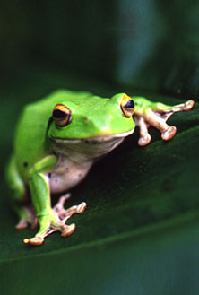 The Moltreche's green tree frog is an endangered species, native to Taiwan. Small in size, it prefers moist environments.