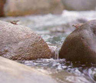 立霧渓の主流とその支流では17種以上の渓流魚類が生息しています。