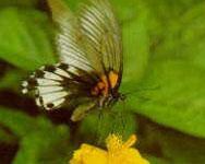 タロコ国立公園内では台湾固有種の蝶類が28種確認されています。中でもアゲハチョウはひときわ目を引きます。