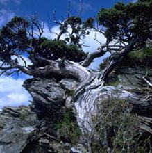 ヒノキの仲間のニイタカビャクシンは厳しい自然に耐え長い年月をかけてゆっくり成長します。