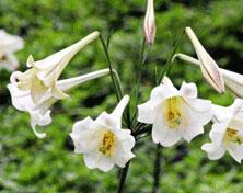 タカサゴユリは台湾固有種。海辺から標高3000メートルの高山にわたって広い範囲で、白い花びらに紅褐色の線が六本入った花を咲かせます。