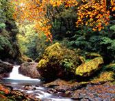 亜熱帯の台湾でも中海抜の山間では秋になると広葉樹が紅葉し、緑の山に彩を添えます。