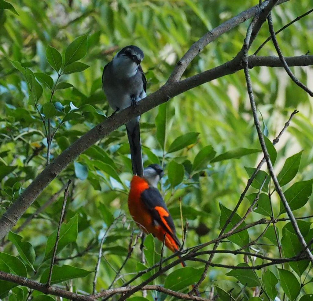 琉球山椒鳥和灰喉山椒鳥(.jpg)