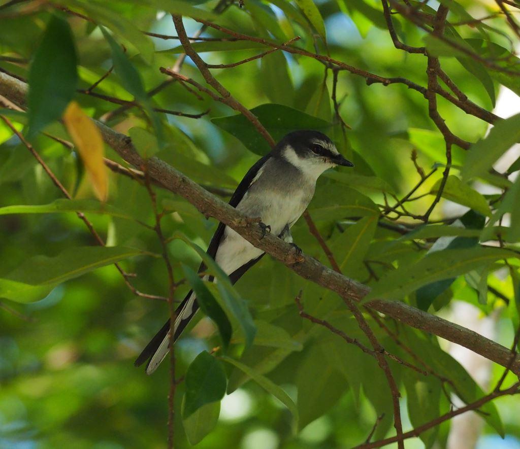 琉球山椒鳥(.jpg)