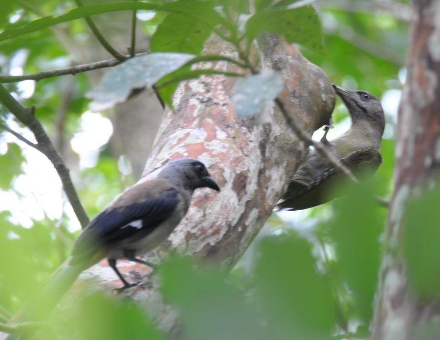 綠啄木鳥(.jpg)
