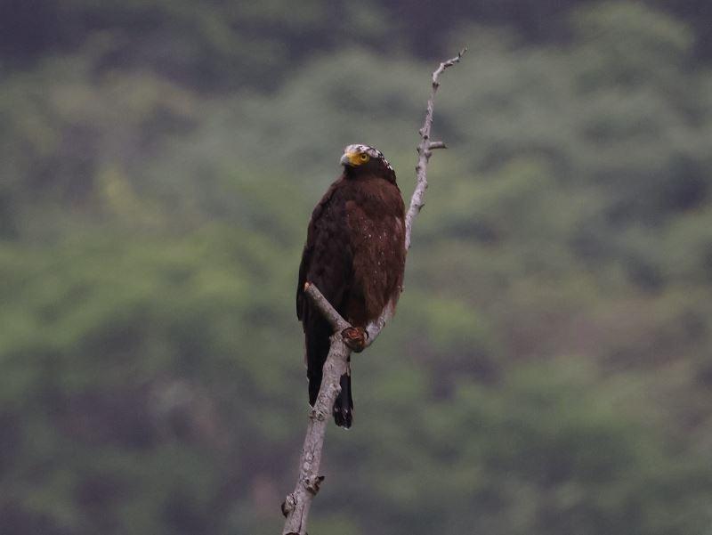 大冠鳩 遇見牠停在枯木上(.jpg)