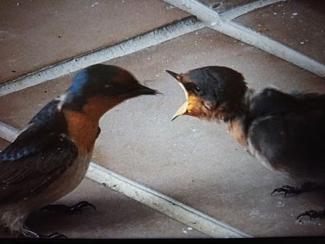 1100530親鳥回來餵食(.jpg)