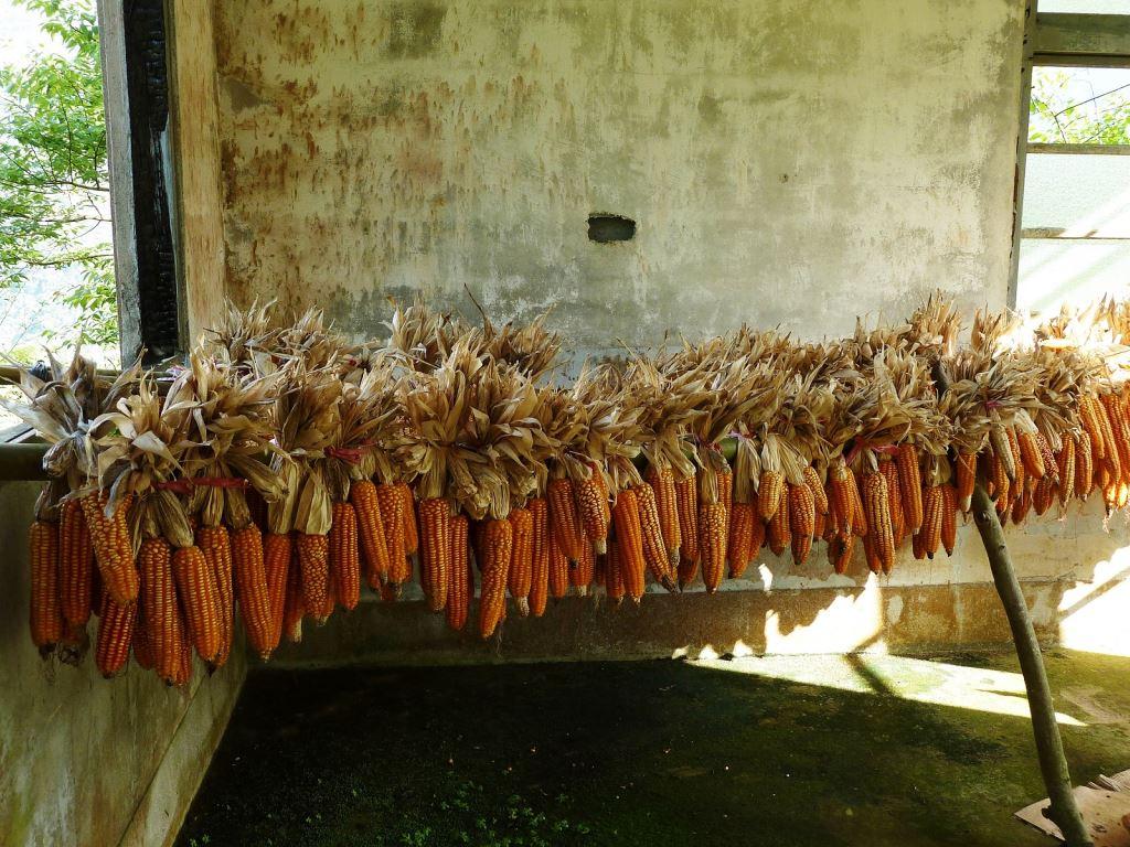 竹屋內曬玉米