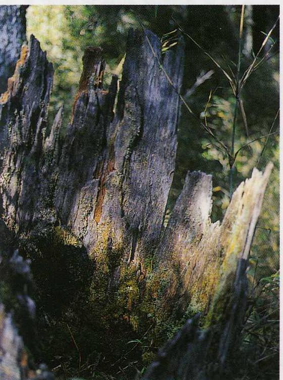 Deadwood regeneration