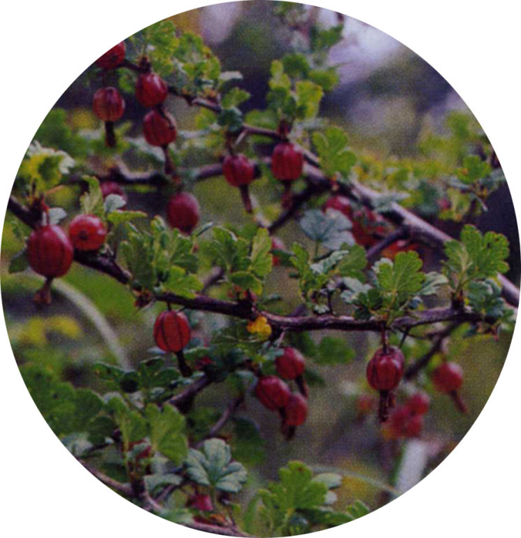 Ribes formosanum