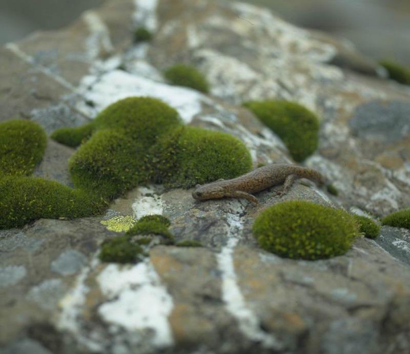 Hynobius formosanus