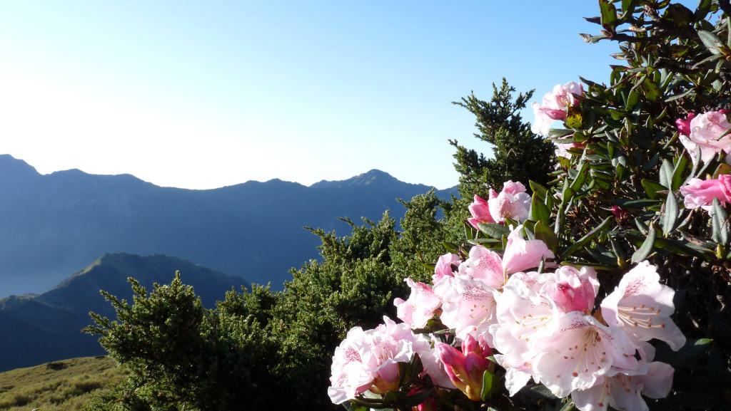 Yushan Rhododendron