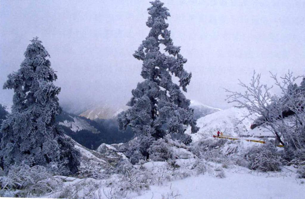 Taiwan White Fir