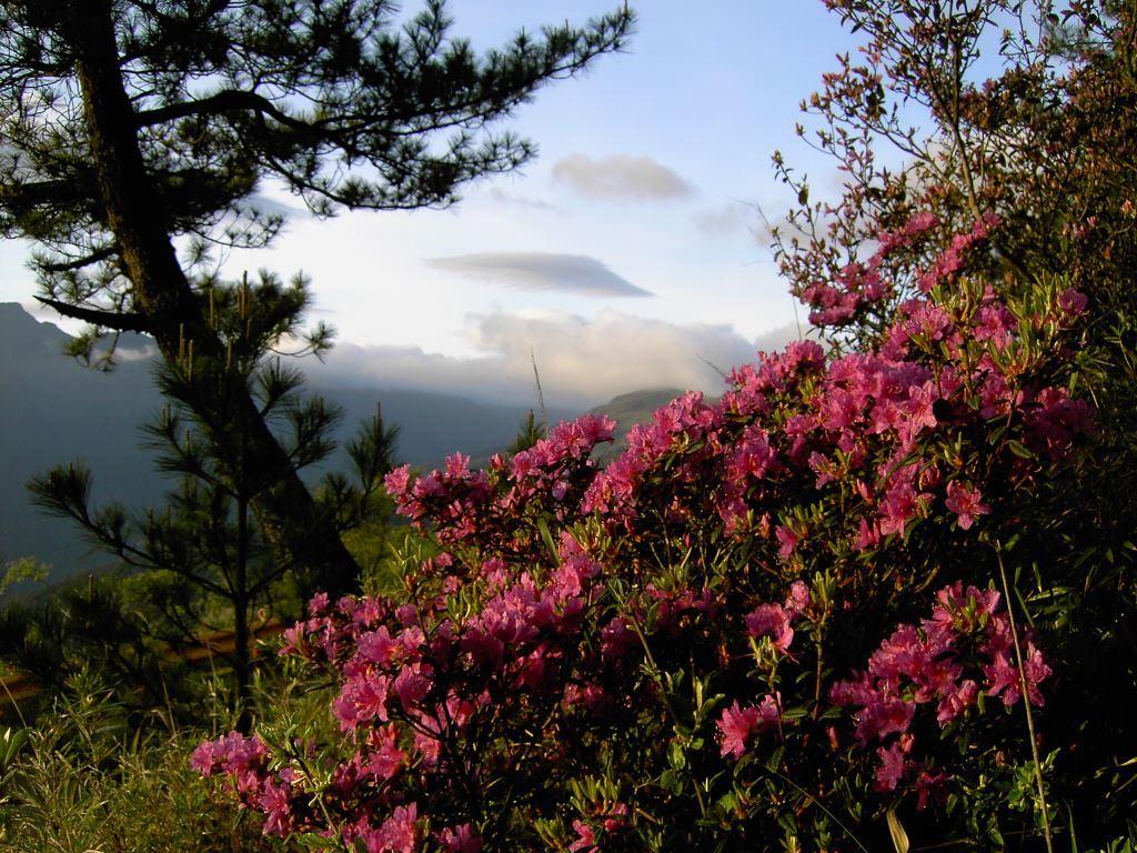 Blooming Rhododendron rubropilosum Hayata