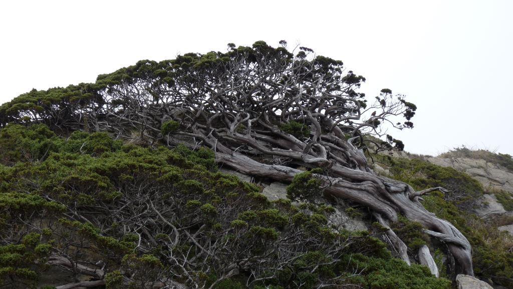 Juniperus morrisonicola Hayata