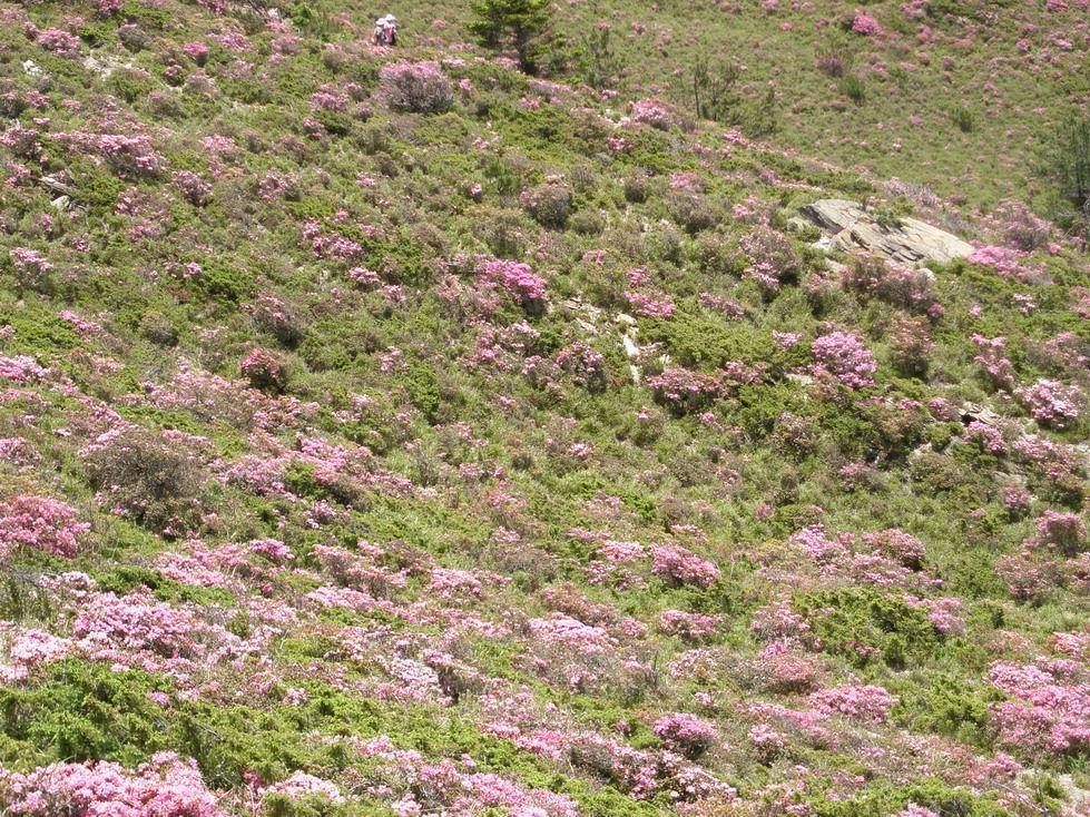 Alpine Rhododendron of Mt. Hehuan North Peak