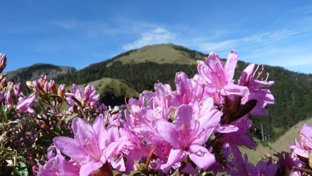 When the Rhododendron rubropilosum blossoms