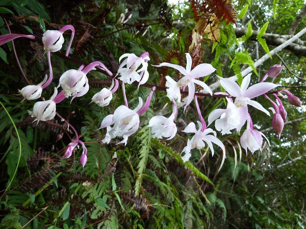 Pleione formosana Hayata in full bloom on  Mt. Qingshui Trail