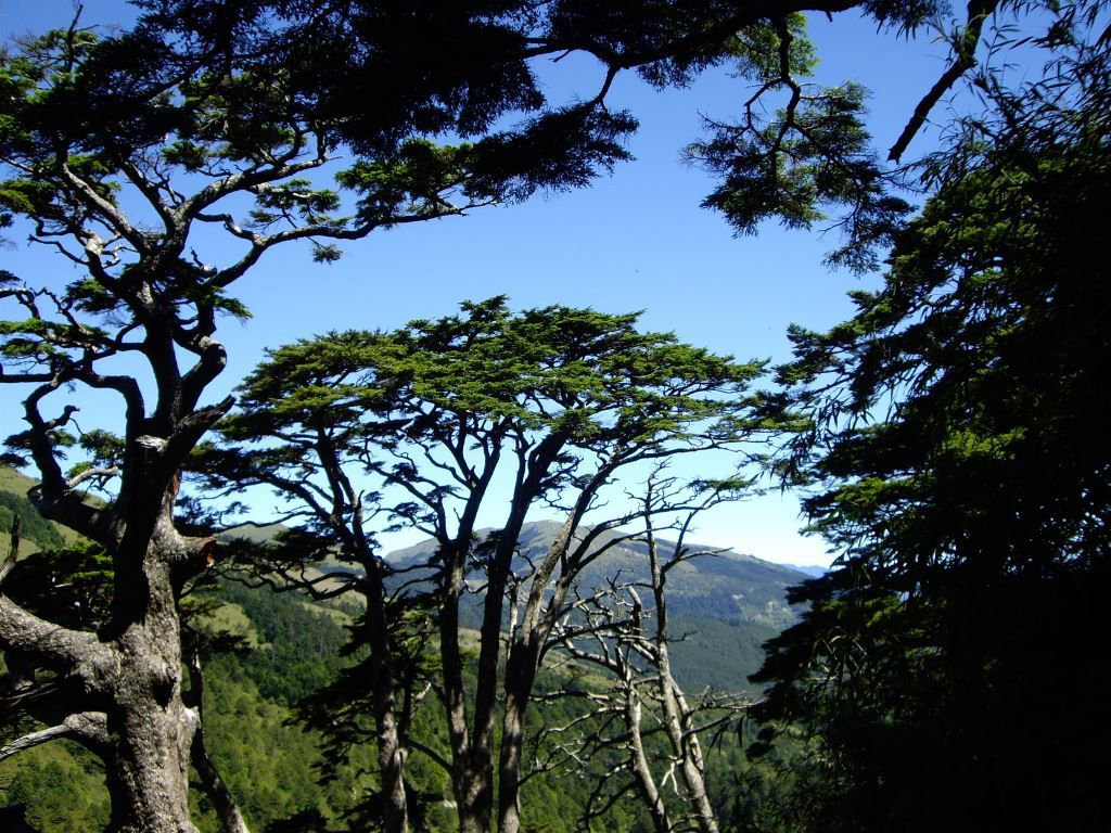 Old Pine is simple and vigorous