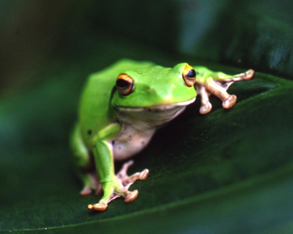 青綠可愛的莫式樹蛙